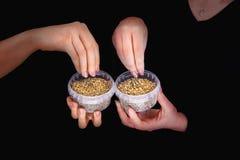 Quatre mains avec des graines de chanvre dans des récipients en plastique image stock