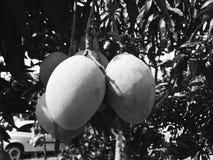 Quatre mangues sur l'arbre photographie stock