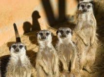 Quatre Meerkats Photographie stock