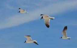 Quatre mouettes noires et blanches volantes dans les cieux Photos stock