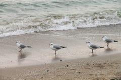 Quatre mouettes se tenant sur le sable humide Photos stock