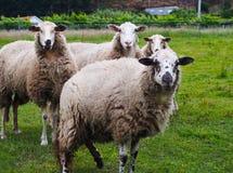 Quatre moutons mignons sur l'herbe verte photographie stock