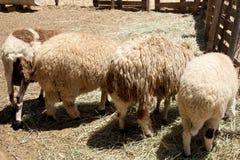 Quatre moutons présent à thei l'arrière Photographie stock
