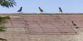 Quatre Myna Birds sur un vieux dessus de toit minable images stock