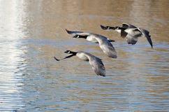 Quatre oies de Canada volant au-dessus du lac Photographie stock libre de droits