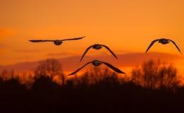 Quatre oies de Greyling volant dans le coucher du soleil Photographie stock