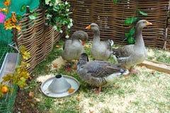 Quatre oies domestiques grises Photographie stock libre de droits