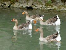 Quatre oies nageant paisiblement photographie stock