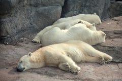 Quatre ours blancs photo stock