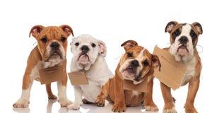 Quatre petits chiots anglais de bouledogue portant des signes à leurs cous Image libre de droits