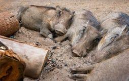 Quatre phacochères sauvages maintenant chaudes autour d'un feu de camp swaziland Images libres de droits