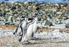 Quatre pingouins de Magellanic sur l'île de Magdalena au Chili Photos libres de droits