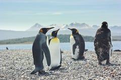 Quatre pinguins de roi s'approchent de la mer Image libre de droits