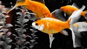 Quatre poissons d'or nageant dans la fin d'aquarium  photographie stock libre de droits