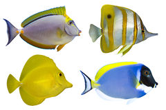 Quatre poissons tropicaux d'isolement Images stock