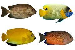 Quatre poissons tropicaux d'isolement sur le blanc Photos stock