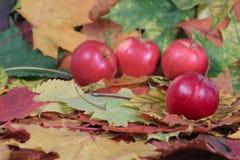 Quatre pommes rouges sur des lames d'automne Images stock