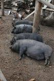Quatre porcs modifiés de sommeil Image stock