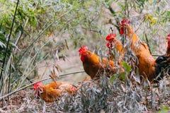 Quatre poulets dans la ligne regardant la caméra photo libre de droits