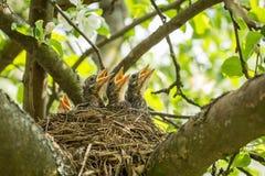 Quatre poussins affamés dans un nid avec les becs jaunes Photos stock