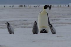 Quatre poussins et parent de pingouin d'empereur Photo stock