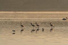 Quatre recherches roses de flamants des mollusques et des poissons dans les eaux du lac Lac Nakuru, Kenya image libre de droits