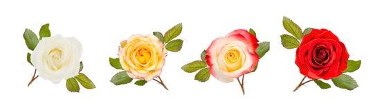 Quatre roses avec des feuilles sur le blanc Photos libres de droits
