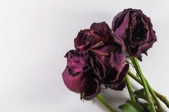 Quatre roses de mort sur le blanc avec Copyspace Image libre de droits