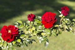 Quatre roses rouges dans le jardin images libres de droits