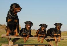 Quatre rottweilers Photographie stock