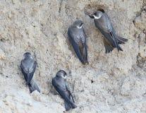 Quatre sable Martin près de nid photos stock