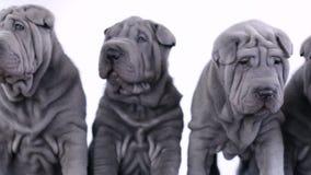 Quatre Shar Pei Puppies Sitting dans le studio banque de vidéos