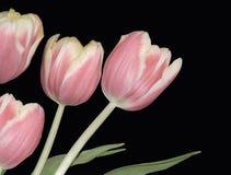 Quatre tulipes roses images stock