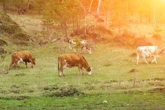 Quatre vaches brunes mâchant l'herbe contre un champ vert images stock
