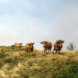 Quatre vaches curieuses drôles regardant la caméra image stock