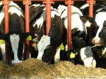 Quatre vaches mangeant du fourrage Images stock