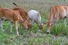 Quatre vaches mangeant l'herbe Image libre de droits