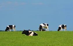 Quatre vaches noires et blanches contre le ciel bleu Images stock