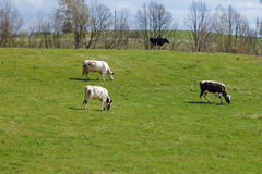 Quatre vaches sur le pâturage vert images stock