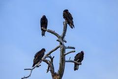 Quatre vautours de Turquie étés perché au sommet d'un arbre mort ; ciel bleu à l'arrière-plan Image libre de droits