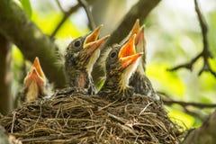 Quatro aldeões do  de Ñ em um ninho em um ramo de árvore na mola na luz solar foto de stock royalty free