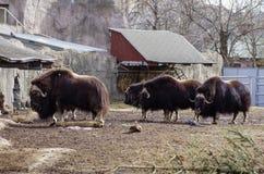 Quatro búfalos Fotografia de Stock