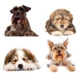 Quatro cães de filhote de cachorro bonitos no fundo branco Fotos de Stock Royalty Free