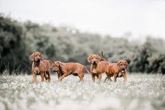 Quatro cães de Rhodesian Ridgeback em um trajeto na floresta fotos de stock royalty free