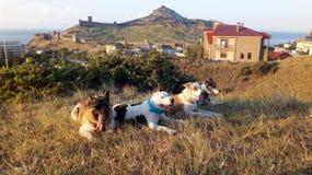 Quatro cães encontram-se na grama nas montanhas imagem de stock royalty free