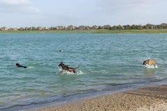 Quatro cães entusiasmado que jogam em um cão estacionam a lagoa da retenção Imagem de Stock Royalty Free