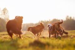 Quatro cães-pastor australianos running com sol da noite Imagem de Stock