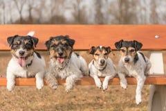 Quatro cães que encontram-se em um banco de parque - terrier de russell do jaque foto de stock royalty free