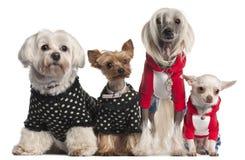 Quatro cães vestidos acima foto de stock royalty free