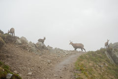 Quatro cabras-montesas na névoa em montanhas de Tatra Fotos de Stock Royalty Free